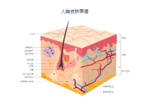 人类皮肤表层