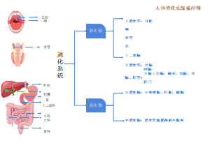人体消化系统流程图